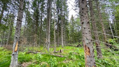 See ei ole vandenõuteooria! Kuuse-kooreürask on olemas, lihtsalt küsimus on, kas ka Sinu metsas?