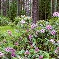 Rododendron – varasuve uhkeim õitseja