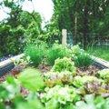 Seemned mulda — milliseid taimi saab veel suve teises pooles edukalt külvata?
