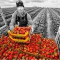 Saanisõit röövis Eesti parima maasikakasvataja elu