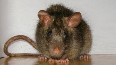 Крыса, ужасная и прекрасная: что мы о них знаем и почему боимся?