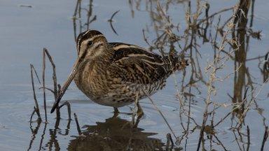 Iga viies Euroopa linnuliik on välja suremas. Ohus on ka seni Eestis tavaliseks peetud linnud