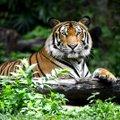 Tiigrid: 9 põnevat fakti kuninglike kaslaste kohta