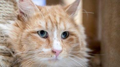 KODULEIDJA   Kass Silvester uhkustab oma välimusega: sätitud on viimne kui üks karv