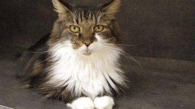 Maailmas ainulaadne, elutarkust täis pilguga Kurri meenutab pigem uhket kassitõugu, kui kodu otsivat kurva minevikuga kassi