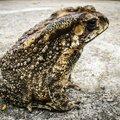 Teadlased selgitavad: teede jääst puhastamiseks kasutatav sool võib panna konnad sugu muutma