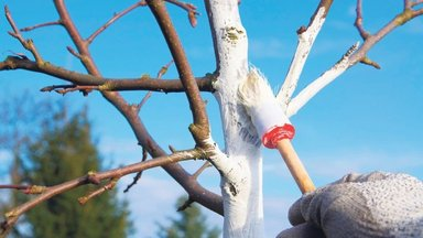 Kas viljapuid võib veel lõigata? Ja teised olulised nõuanded viljapuuaia talvekorda seadmiseks