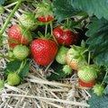 HÜVA NÕU   Kuidas luua hooldusvaba maasikapeenar?