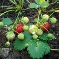 Varased maasikad kasvuhoonest