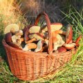 Mürgistusnõustaja: seeni ja infot tuleb korjata õigest kohast