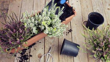 Mida võiks veel nüüd, vastu talve, rõdukasti ja aiavaasi istutada?