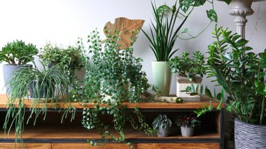 Lihtne nipp, mille abil toataimed kauniks ja elujõuliseks muuta