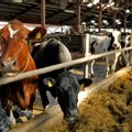 Kas rohepööre toob piimakarjade vähenemise?