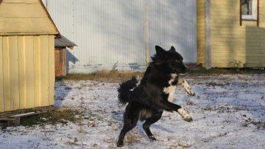 KODULEIDJA | Raffi tahab õppida, valvata, sporti teha ja kui vaja, siis ajab lambakarja ka kokku