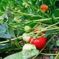 Anna vastulöök taimekahjuritele ja -haigustele lubatud vahenditega