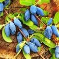 Soovid juba juuni alguses aiast marju korjata? Siis on see teenimatult alahinnatud marjapõõsas just sinu jaoks!