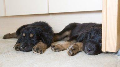 Ära soeta kutsikat uisapäisa! VTA hoiatab ohtude eest koera ostmisel
