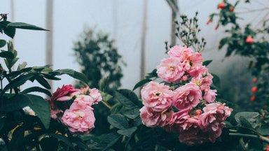 Rooside sügisene hooldamine ja talveks katmine — vead, mida kindlasti teha ei tohi!