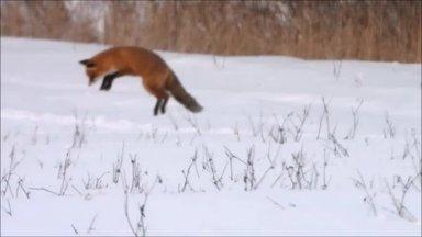 VIDEO | Ninapidi lumme ja saak hambusse! Reinuvader peab põllul hiirele jahti