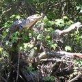 Krokodillid ronivad puu otsa peesitama ja ümbrust jälgima