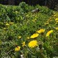 Säravkollane suvekuulutaja võilill — mida sellest teha ja kuidas seda enda tarbeks kasutada?