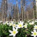 Leili metsalood   Linnulaulu kostab sel kevadel metsas vähe