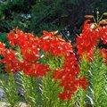 Kirev liiliasuvi Issako-Peetri talus