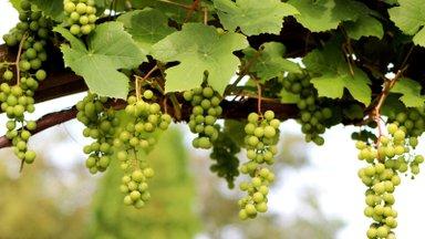 KUULA SAADET | Innovaatika #28: kas Eestist saab tulevikus viinamarja- ja veinimaa?