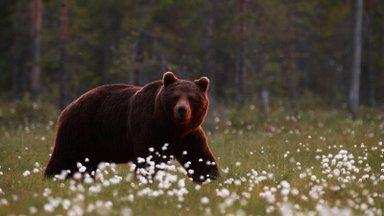 Боксер Медведев убил ножом медведя. Но друга не спас