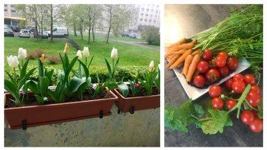 """""""Мой дом летом""""   Богатый урожай овощей на балконе в Ласнамяэ"""