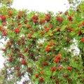 Leili metsalood   Puudel punetavad pihlad