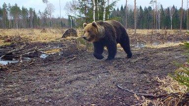 Kuidas karu pildile püüda?