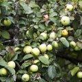 Tõendamata päritolu õunu müünud skandaalse ettevõtte aastakäive oli 23 eurot