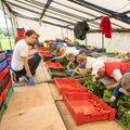 Valitsuse jonn välistööjõuga viis maasikakasvatajad kõrvuni võlgadesse