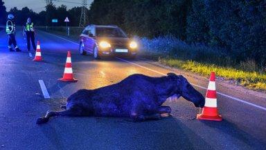Sügis toob ulukid maanteedele: kuidas vältida otsasõitu?
