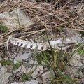 KOHALIKEL RADADEL   Saaremaa tapjaliinid ehk kuidas elusloodusest saab linnuliha