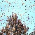 Putukad ja linnud muutuvad parvena tegutsedes palju vägevamaks