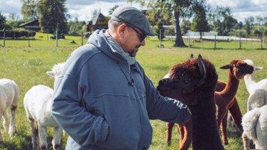Kaisuloomi meenutavatele alpakadele liigne õrnutsemine ei meeldi