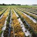 ÜLEVAADE | Põllumajandus pakub peagi tööd sadadele hooajatöödele. Kus ja millist tööd peamiselt pakutakse?