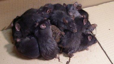 """Уникальная находка: в Пылвамаа нашли """"крысиного короля"""". Животных пришлось усыпить и передать на изучение ученым"""