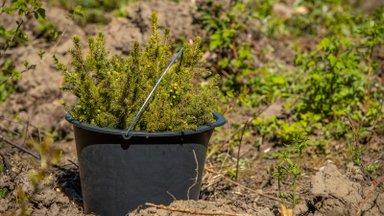 Rekordiline metsaistutamise hooaeg riigimetsas saab väärika finiši sügisistutusega